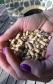 Apkures granulas